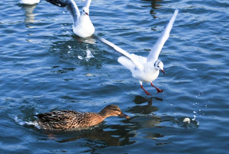 Canard et mouette ayant faim