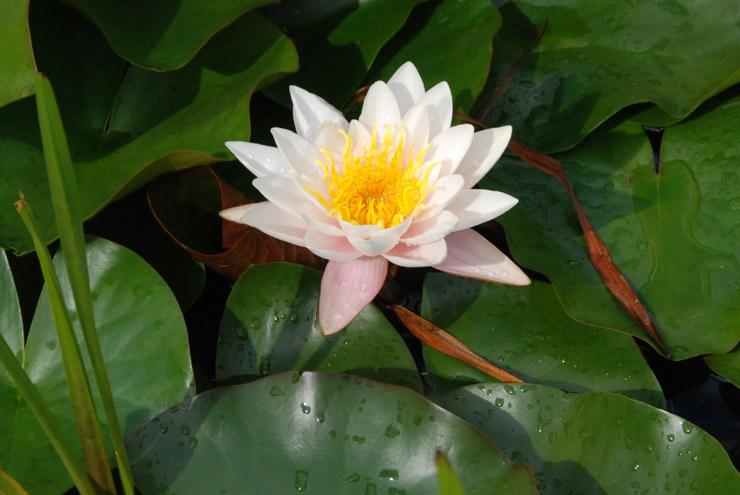 Fleur de nénuphare