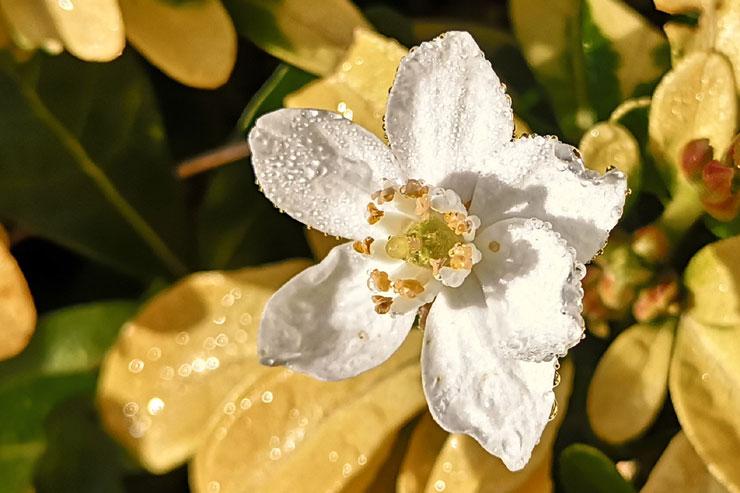 Fleur de rosée